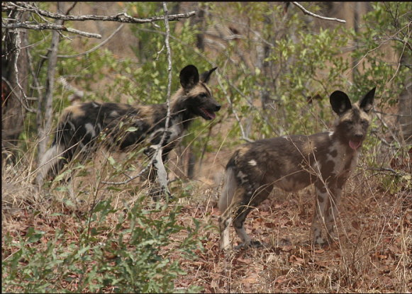 a003_African-wild-dogs,-Save-Valley,-Zimbabwe