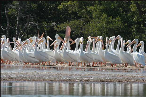 b002_white-pelicans,-Florida-Keys